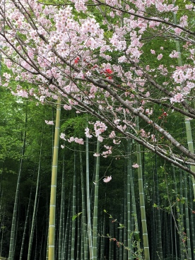 Bamboo and Sakura Trees
